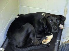 Eeyore: Black beauty, only 10 months old, is out of time at high-kill SC shelter
