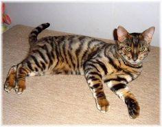 Tiger-House Cat Cross
