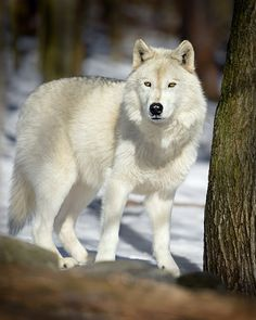 Pure White Wolf | pure white female wolf song is very quiet and shy but once you get ...