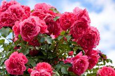 Il n'y a rien de plus agréable que de sentir le parfum délicat de la rose. Vous voulez préserver l'odeur et la vivacité de votre plante? Voici les conseil