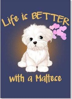 Life is better with a Maltese Toda la información y productos especializados para el la raza perro maltés