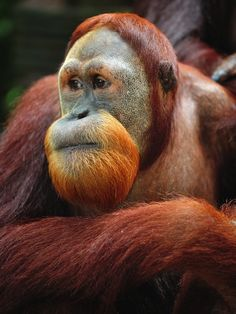 Sumatran Orangutan. Of the 9 existing populations of Sumatran orangutans, only 7 have prospects of long-term viability, each with an estimated 250 or more individuals. Only 3 populations contain more than 1,000 orangutans. Orangutans that were confiscated from the illegal trade or as pets are being reintroduced to Bukit Tigapuluh National Park. They number around 70 and are reproducing. via bioexpedition.com