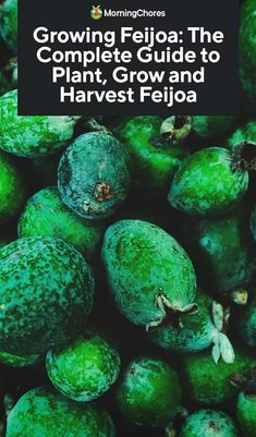 Growing Feijoa: The Complete Guide to Plant, Grow and Harvest Feijoa - Neue Ideen Organic Gardening, Gardening Tips, Sustainable Gardening, Gardening Vegetables, Pineapple Guava Tree, Guava Plant, Mother Plant, Weed Seeds, Tree Care