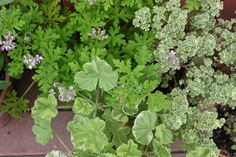 Leaves of mixed scented pelargoniums: french lace, variegated nutmeg, and peppermint. Gardenista
