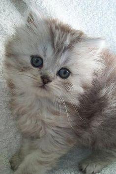 【チンチラが可愛い☆】  マイペースなチンチラ猫が集まる猫画像20選!!  見てみる  ↓ ↓ ↓ 【】RT