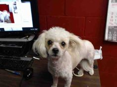 ★❥•ADOPTED!• ❥★~ Animal ID #A4869320 ‒ My Name is CHERRY. I am a Female, White Miniature Poodle mix. The shelter thinks I am about 10 months old. I have been at the shelter since August 22, 2015. L.A. County Animal Care & Control: Downey  Telephone ‒ (562) 940-6898 11258 South Garfield Avenue Downey, CA Fax: (562) 869-1777 https://www.facebook.com/OPCA.Shelter.Network.Alliance/photos/pb.481296865284684.-2207520000.1440520509./870451439702556/?type=3&theater