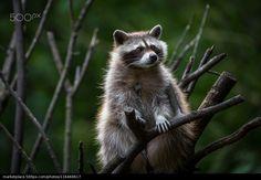 Raccoon - Ralf Bitzer