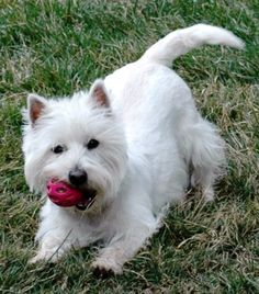 The West Highland White Terrier, commonly known as the Westie or Westy, is a Scottish breed of dog with a distinctive white coat.