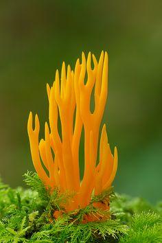 Yellow Antler Fungus ~ Calocera viscosa. By Robert Thompson