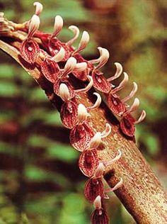 Pleurothallis strupifolia Weird Plants, Unusual Plants, Exotic Plants, Exotic Flowers, Amazing Flowers, Unique Flowers, Miniature Orchids, Strange Flowers, Rare Orchids