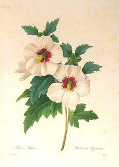 faj kettős latin neve:Hibiscus syriacus Magyar név:törökrózsa Család:Malvaceae Alcsalád: Malvoideae Rend:Malvales Életforma:N, M Termés: t ok