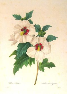 Belgian painter and botanist Redoute (1759-1840), this gorgeous 1979 botanical plate .Hibiscus syriacus