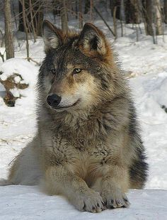 He has  his winter coat on and he looks warm and happy! Wolf                                                                                                                                                     More