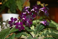 https://flic.kr/p/sqaH5f | Streptocarpus 'Purple Rose' | From the Twin Cities Gesneriad Society Spring Show 2015.