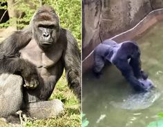 17-year-old western lowland silverback gorilla, Harambe who was shot after a four-year-old boy fell 15 feet into his enclosure at the Cincinnati Zoo Gorilla World exhibit.