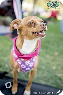 HOLLY...CA...West Hollywood, CA - Chihuahua/Miniature Pinscher Mix. Meet Holly *VIDEOS* Sweetest Smile!, a dog for adoption. http://www.adoptapet.com/pet/8297520-west-hollywood-california-chihuahua-mix
