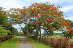 Flamboyan tree in Puerto Rico