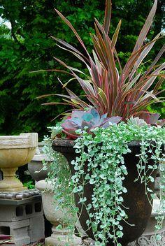 Phormium Pink Stripe, echeveria Afterglow, Silver falls dichondra