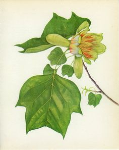 Vintage Tulip Tree Print, Botanical  Book Plate 81, Ornamental, Nature, Landscape, Framing, 1969, Choc