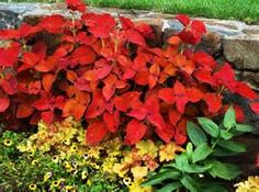 Very colorful and will brighten up any garden.  Photo credit to http://serenityinthegarden.blogspot.com/2010/07/summer-stunner-coleus.html