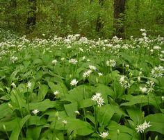 """Allium ursinum """"Ail des Ours"""""""