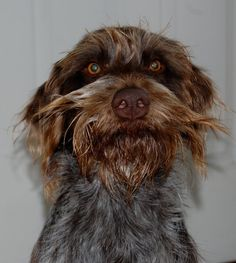 Ha! Baldwin's brother Atticus! Wirehaired Pointing Griffon, Griffon Dog, German Wirehaired Pointer, I Love Dogs, Cute Dogs, Dog Heaven, Zappa, Dog Rules, Crazy Dog