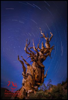 Bristle Cone Pine with startrails | Shop Fine Art by Neil Simmons Photography