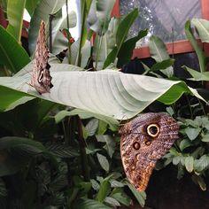 Butterflies at La Paz Waterfall Gardens #costarica #butterfly #nature #lapazwaterfallgardens