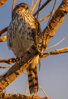 Cooper's Hawk | by BernieErnieJr