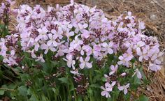Douglas's Toothwort - Cardamine douglassii 'Southern Lady'. Native spring ephemeral. Wetland lover, part sun to light shade