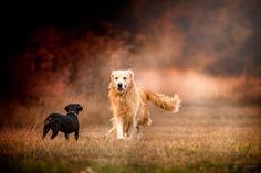 Their first hello - Zoey at Beaver Lake meets a Beautiful Golden Labrador Retriever