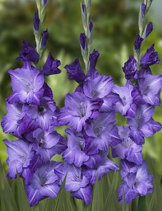 Blue Mountain Gladiolus