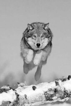 Beautiful animal photography and pictures. Helpful when learning how to mo… Sponsored Sponsored Wolf. Beautiful animal photography and pictures. Wolf Spirit, My Spirit Animal, Beautiful Creatures, Animals Beautiful, Tier Wolf, Animals And Pets, Cute Animals, Wild Animals, Baby Animals