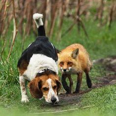 Funny Fox Hunting Dog Fail