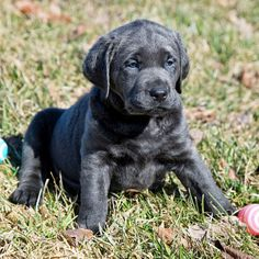 Worley's Silver Feathers Labradors Perro Labrador Retriever, Silver Labrador Retriever, Labrador Breed, Labrador Puppies, Corgi Puppies, Retriever Dog, Charcoal Lab Puppies, White Lab Puppies, Silver Lab Puppies