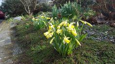 Feb 18: mini daffodils starting to bloom