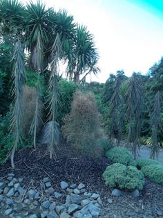 Pseudopanax Ferox, and Coprosma Virescens, Auckland. Backyard Fences, Garden Fencing, Front Yard Landscaping, Fence Options, Fence Ideas, Garden Ideas, Diy Privacy Fence, Privacy Screen Outdoor, Dog Friendly Garden