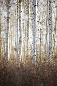 Birch Forest in Dalarna, Sweden
