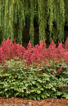 Round Up: 24 of the Best Low Maintenance Plants for Your Garden 2019 Astilbe. … Round Up: 24 of the Best Low Maintenance Plants for Your Garden 2019 Astilbe. Right side yard. Part sun/shade. different varieties vary. ft wide and 6 inches to 5 ft ta Backyard Pool Landscaping, Landscaping With Rocks, Landscaping Tips, Landscaping Software, Low Maintenance Landscaping, Low Maintenance Garden, Gardening Supplies, Pool Landscape Design, Garden Design