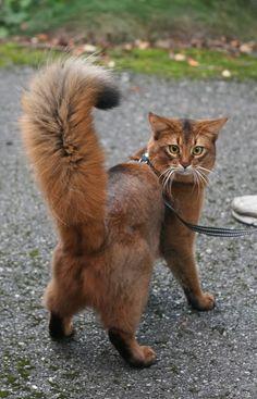 Ruddy Somali Cat << love this breed, looks half cat, half fox