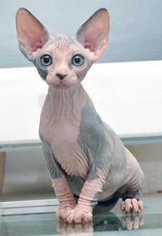 The Sphynx cat is a breed of cat known for its lack of coat (fur). The Sphynx was developed through Sphynx Kittens For Sale, Kitten For Sale, Cute Kittens, Cats And Kittens, Hairless Cats, Ragdoll Cats, Pretty Cats, Beautiful Cats, Animals Beautiful