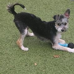 Allentown Pa Bell Allentown Pa Bellfort Is A Maltese Min Poodle Yorkie For Adoption Who Needs A Loving Home Maltese Maltese Pets Cute Dogs