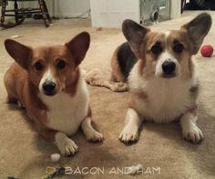 Bacon and Ham, Corgi Brothers