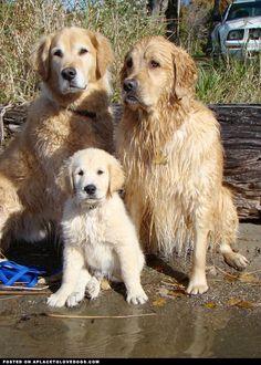Golden Retrievers <3 them!