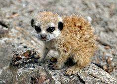 Meerkat=cute. Baby meerkat=ubercute. Just LOOOOOOK AT IT!!!!!!