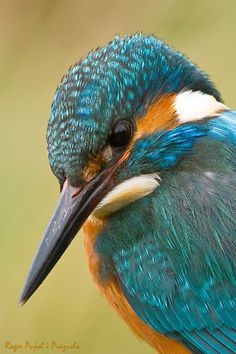 Common kingfisher                                                                                                                                               :  portrait by roger-pujol http://ift.tt/1GDkOmb