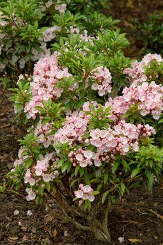 Elf Dwarf Mountain Laurel - Monrovia - Elf Dwarf Mountain Laurel-Late spring to early summer