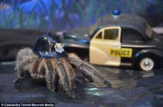 On the beat: The tarantula makes sure the streets are in order too