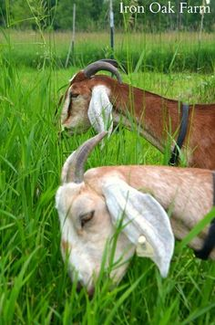 Dealing with goat scours (diarrhea)
