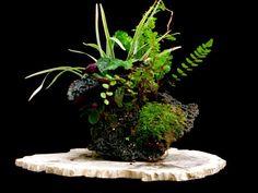 lilyturf, Hemigraphis, Button Fern, Maiden Hair Fern (Liriope, Hemigraphis, Pellaea rotundifolia, Adiantum) Height: 9 in, 22.86 cm Pot: Lava Stone Categories: Companion http://www.artofbonsai.org/art-of-bonsai-awards/2008/aob_041_hemigraphis.jpg